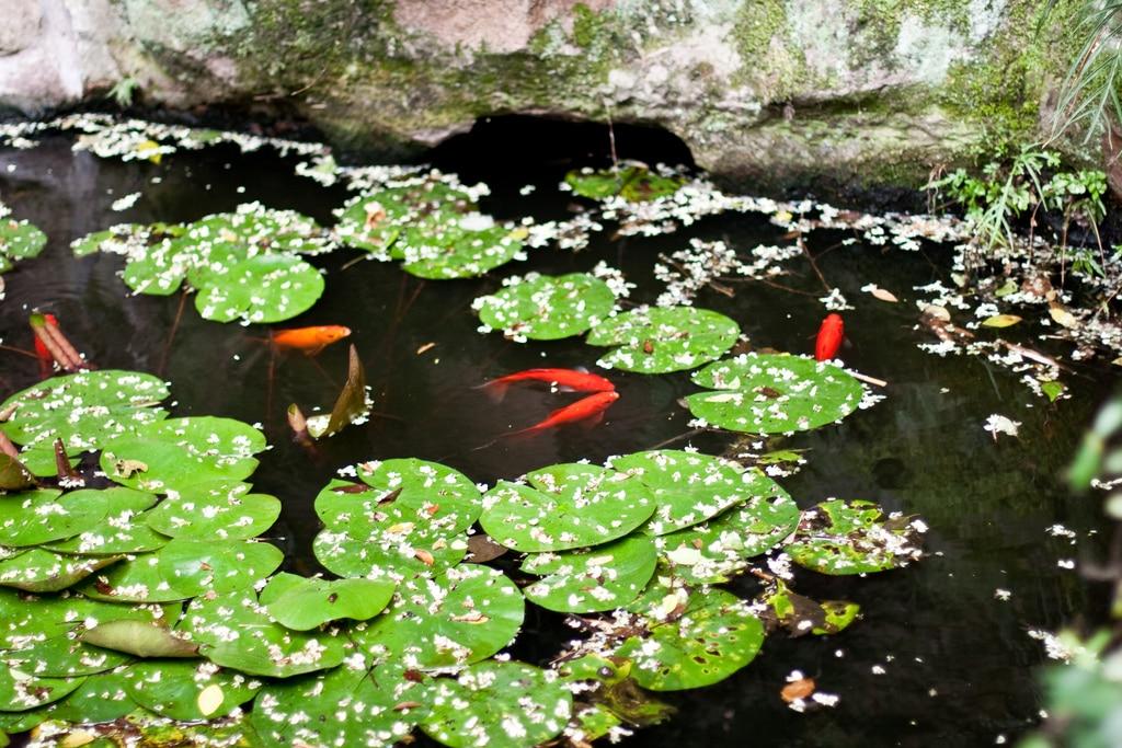 goudvis in vijver (002)