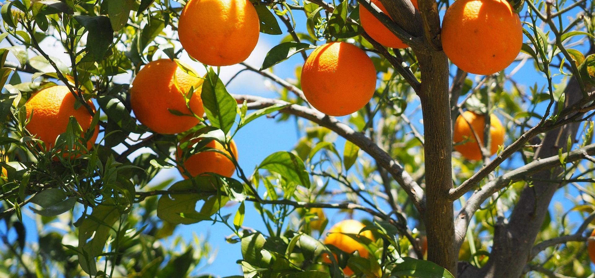 fruitboom plukken tuin